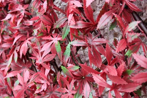Wonderwal Trellis 100 x 200cm - Red Acer